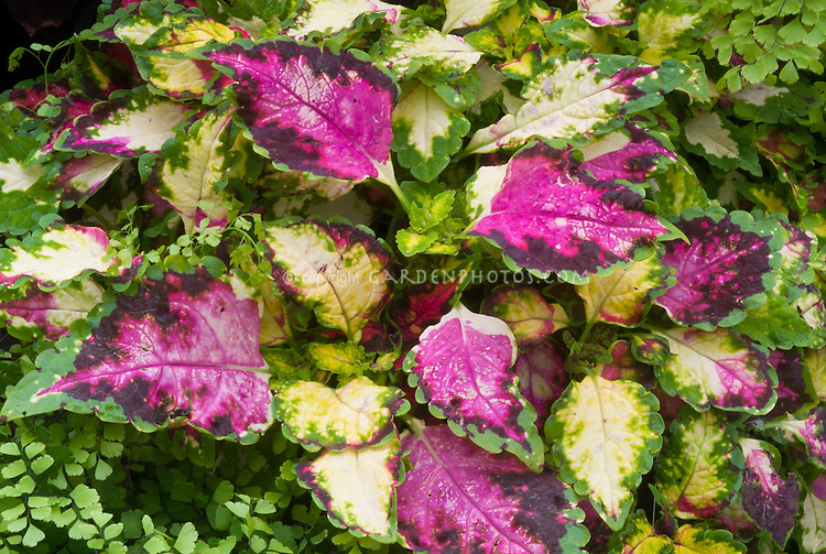 Solenostemon (Coleus) 'Chameleon', annual foliage plant in pink maroon, green, cream yellow
