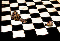 Strictly 'for fun', this is an image of a chess board, presumably marble, with one large Brown garden snail and one small, facing-off.  Perhaps it's a duel to see who is slower, or maybe it's just a shell game.
