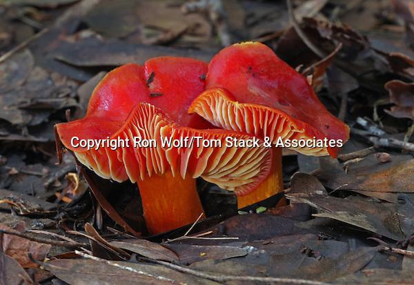 Scarlet Waxy Cap (Hygrocybe punicea) a/k/a Crimson Waxy Cap. Mt. Tamalpais State Park. Marin Co., Calif.