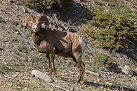 Bighorn sheep (Ovis canadensis) in the Canadian Rocky Mountains<br /> Jasper National Park<br /> Alberta<br /> Canada