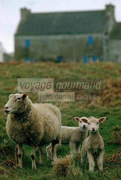 Europe/France/Bretagne/29/Finistère/Ile d'Ouessant: Moutons