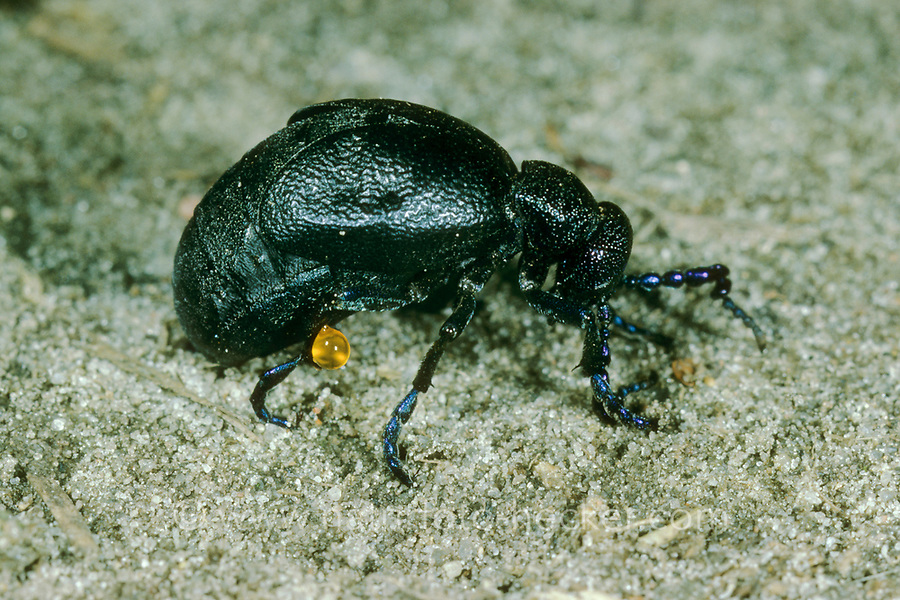 Schwarzblauer Ölkäfer, Schwarzer Maiwurm, Männchen, Meloe proscarabaeus, Meloë proscarabaeus, oil beetle, black oil beetle, European oil beetle, le Méloé printanier
