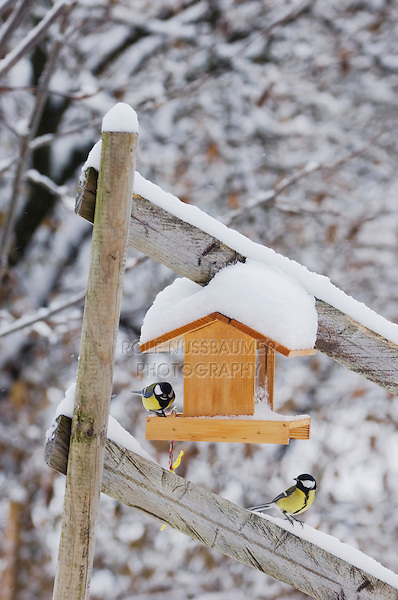 Great Tit, Parus major, Males at feeder with snow, Oberaegeri, Switzerland, Dezember 2005