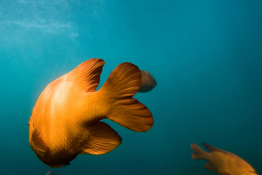 Garibaldi fish swim in the Pacific Ocean off the coast of La Jolla, San Diego, California. It is the official marine state fish of California and is protected in California coastal waters.