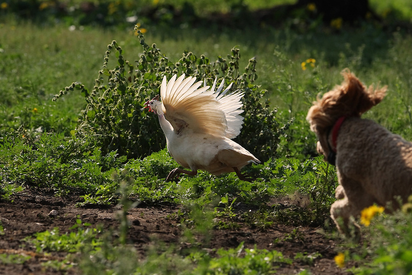 Country poodle having some fun. Seen here chasing a Guinea Fowl around the farm..
