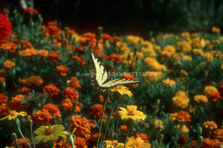 Swallowtail butterfly on marigolds