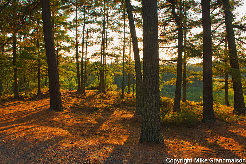 White pine trees at sunset (Pinus strobus)<br />Sioux Narrows Provincial Park<br />Ontario<br />Canada