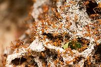 Leafcutter Ant colony, Atta cephalotes, Sarapiquí, Costa Rica