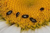 Rapsglanzkäfer, Rapskäfer als Blütenbesucher, Rapsglanz-Käfer, Meligethes aeneus, Brassicogethes aeneus, pollen beetle, Glanzkäfer, Nitidulidae