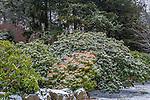 The Rhododendron Path at the Arnold Arboretum in the Jamaica Plain neighborhood, Boston, Massachusetts, USA