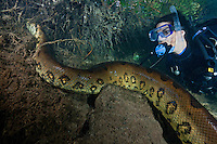 RB7309-D. Green Anaconda (Eunectes murinus), huge 7m (22 feet) long female snake underwater, climbing riverbank while scuba diver (model released) observes. Brazil, South America.<br /> Photo Copyright &copy; Brandon Cole. All rights reserved worldwide.  www.brandoncole.com