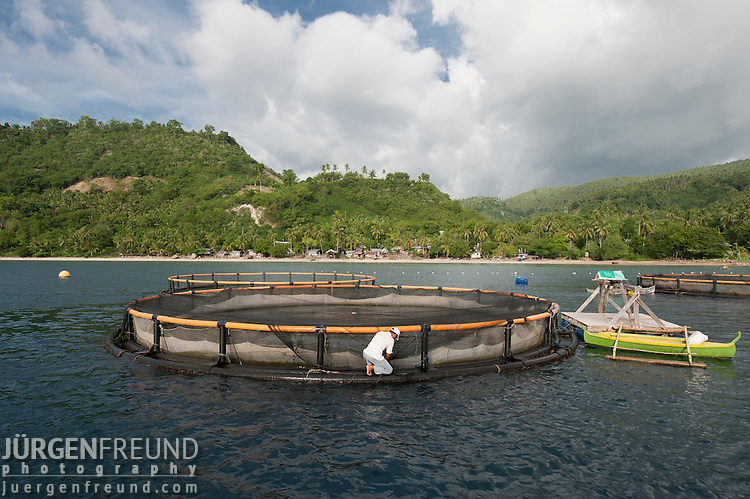 Sea cages holding different types of food fish like milkfish (bangus - chanos chanos) or pomfret (Pompano) fish. The fish are fed soy pellets.