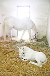 Patchen Wilkes' white Thoroughbreds - The White Fox, Patchen Beauty, Precious Beauty & Late 'n White