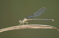 338400004 a wild female blue-ringed dancer damselfly argia sedula perches on a twig at bentsen rio grande valley state park mission texas