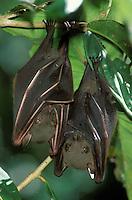 Short-nosed Fruit Bat<br /> Philippines, Mt. Apo National Park, 1,100 m.