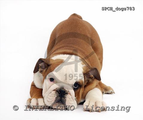 Xavier, ANIMALS, dogs, photos, SPCHdogs783,#A# Hunde, perros