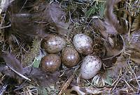 Feldspatz, Feld-Spatz, Feldsperling, Feld-Sperling, Ei, Eier, Gelege im Nest, Spatz, Sperling, Passer montanus, tree sparrow
