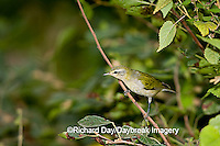 01514-001.05 Tennessee Warbler (Vermivora peregrina) in Dwarf Fragrant Sumac (Rhus aromatica) Marion Co. IL