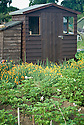 Potatoes and California poppies (Eschscholzia californica) in front of an allotment shed, mid June.