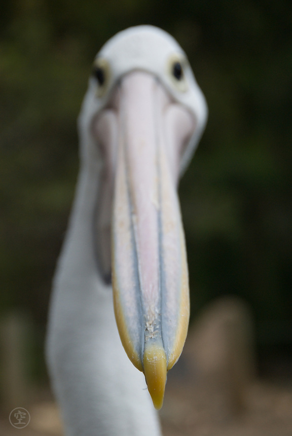 The head of an Australian Pelican in detail, with the focus on the hooked tip of the beak, Cleland Wildlife Park, Adelaide, Australia