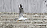 Un gabbiano vola sul sagrato della Basilica di San Pietro durante l'udienza generale del mercoledi',  Citta' del Vaticano, 22 marzo, 2017.<br /> A seagull flies on the Saint Peter Basilica churchyard during the weekly general audience at the Vatican, on March 29, 2017.<br /> UPDATE IMAGES PRESS/Isabella Bonotto<br /> <br /> STRICTLY ONLY FOR EDITORIAL USE