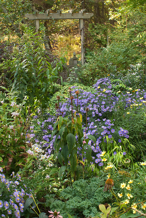 Fall September autumn flower garden with Aster dumosus Sapphire, Coreopsis Full Moon, trellis and picket fence, Physocarpus, Hakonechloa Allgold, fall foliage trees
