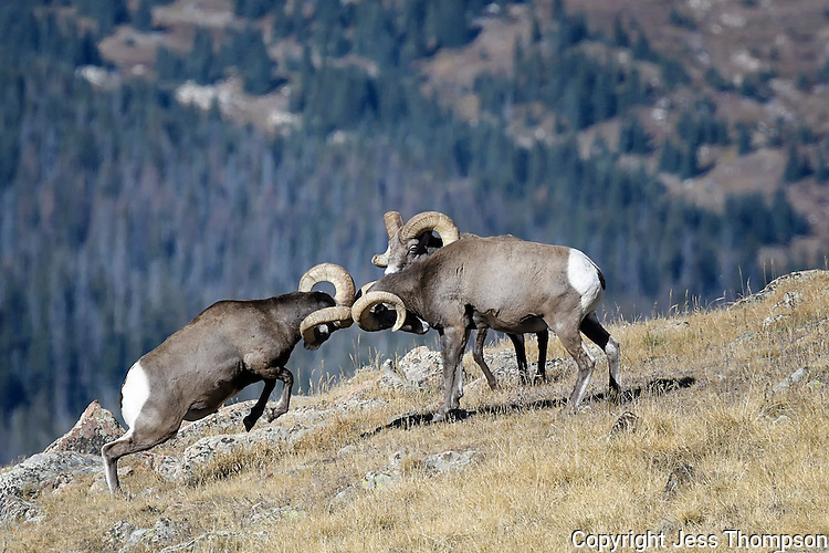 Bighorn Rams fighting, Rocky Mountain National Park