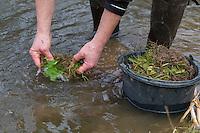 Spitzwegerich-Wurzeln werden in Wasser, Bach ausgewaschen, abgespült, Spitzwegerich-Wurzel, Spitzwegerichwurzeln, Wurzeln, Wurzel vom Spitzwegerich, Wurzelernte, Ernte, Wurzelstock, Wurzelrhizome im Frühjahr. Spitz-Wegerich, Spitzwegerich, Wegerich, Plantago lanceolata, English Plantain, Ribwort, narrowleaf plantain, ribwort plantain, ribleaf, root, roots, le Plantain lancéolé, Plantain étroit