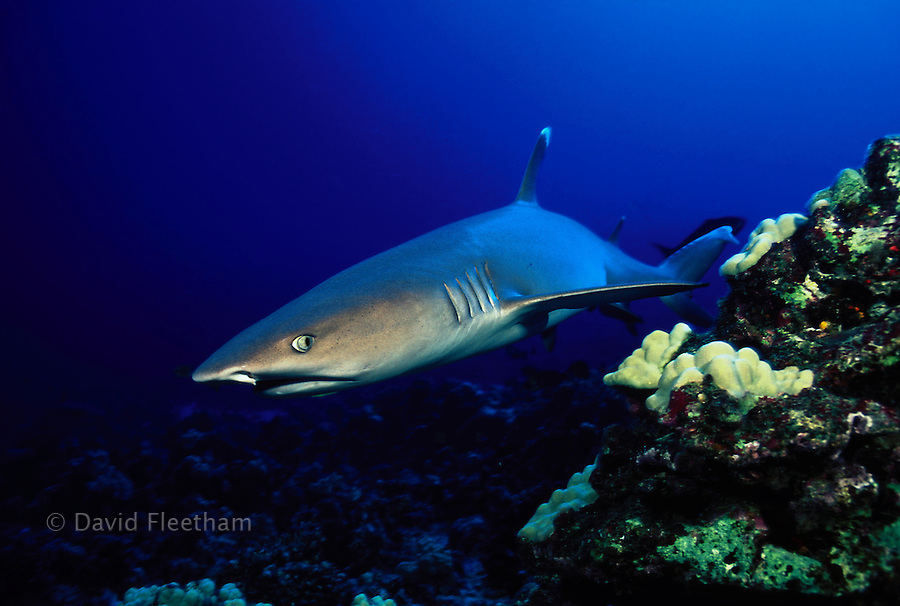 A whitetip reef shark,  Triaenodon obesus, keeping an eye on the photographer.  Hawaii.