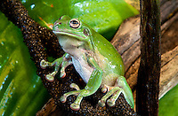 The Common Green Treefrog (Litoria caerulea)  is a large species, growing to 110 mm.  It is bright to dull green with a rounded head.  There is a prominent, fleshy skin fold above the ear.  The flanks may be plain or spotted with white.  The belly is white and the back of the thighs are yellow to maroon.