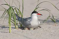 Common Tern (Sterna hirundo) sitting on nest and eggs, Nickerson Beach, Lido Beach, New York