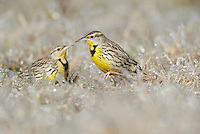 Eastern Meadowlark (Sturnella magna), adults walking on ice covered grass, Dinero, Lake Corpus Christi, South Texas, USA