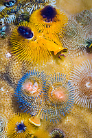 Christmas tree worms, Spirobranchus giganteus, Solomon Islands, Pacific Ocean