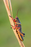 An Eastern Lubber Grasshopper (Romalea microptera) nymph (late instar) perches on a vegetation.