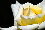 Rose, Portland Rose Garden, Oregon