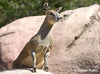 0604-1102  Klipspringer (Rock Jumper Antelope), Small Antelope on Boulders, Oreotragus oreotragus  © David Kuhn/Dwight Kuhn Photography