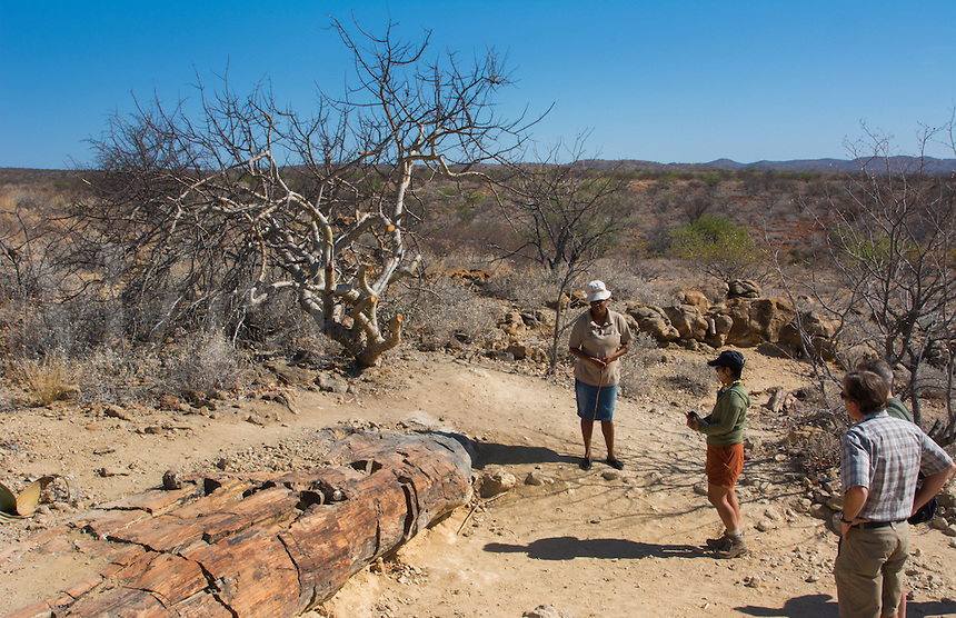 Namibia Africa Petrified Forest National Park oldest 2000 year old petrified tree  tree and plants in Namibia welwitschia mirabilis tree with guide and tourist