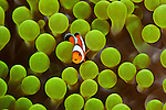 Baby true clownfish (Amphiprion percula) in its anemone home