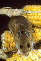 MU54-018t  White-Footed Mouse - eating corn -  Peromyscus leucopus
