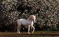 Phantom, the white stallion with a fan club.<br /> A wild horse until a few weeks before this picture was made, Phantom was captured in Nevada, deemed a nuisance by some.  His appeal to others may have saved his life. Residents raised $4,000 to move him and one of his mares to California's Wild Horse Sanctuary.