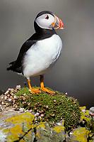Atlantic Puffin, Fratercula arctica, Fair Ilse, Scotland, United Kingdom, Great Britain, British Isles, North Atlantic Ocean