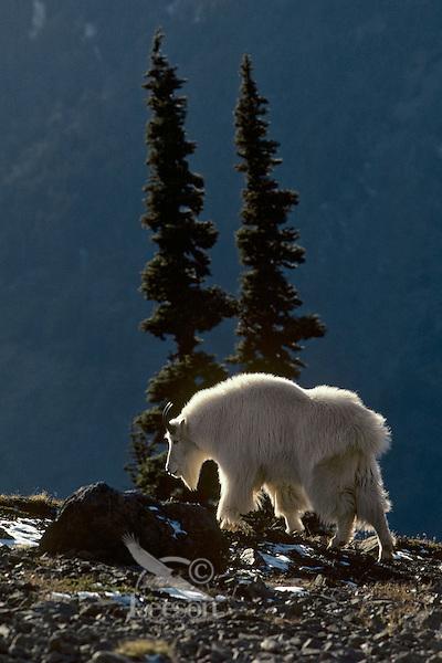 Mountain Goat billy walks along high mountain ridge, Western U.S.