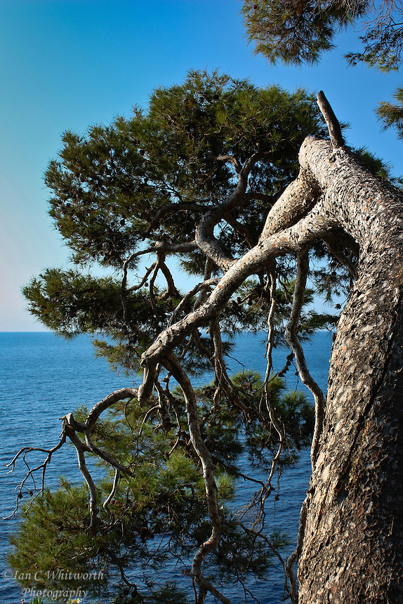 Looking out over the Mediterranean Sea stands a lone tree.