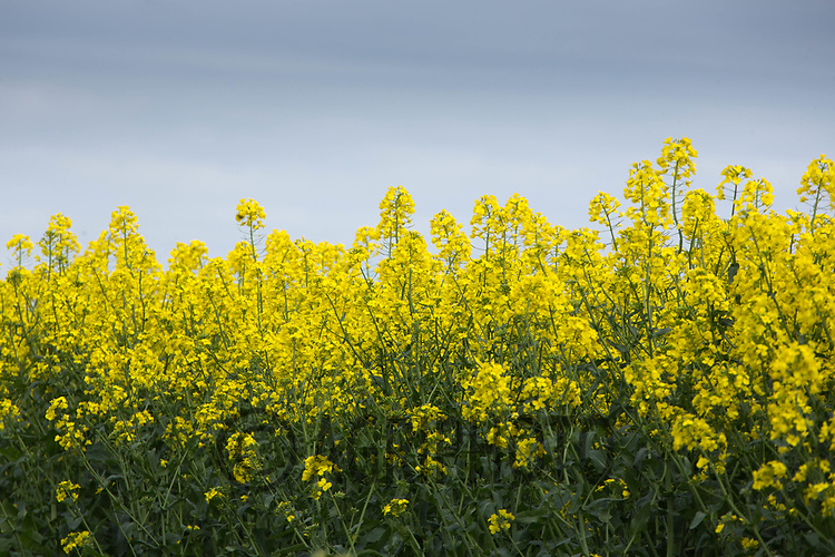 Oilseed rape in full flower<br /> &copy;Tim Scrivener Photographer 07850 303986<br /> ....Covering Agriculture In The UK....