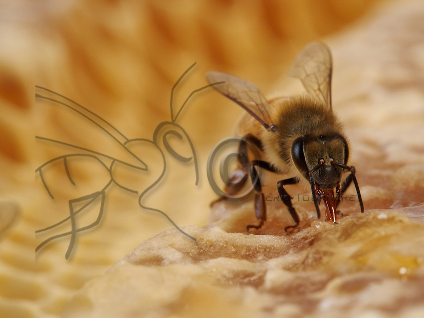 The bee sucks up honey to fill its crop. Honey is the adult bees' food. It provides them with energy for flying and for regulating the temperature of their bodies and that of the colony.<br /> L&rsquo;abeille aspire du miel pour remplir son jabot. Le miel est la nourriture des abeilles adultes. Il leur apporte &eacute;nergie pour le vol et pour r&eacute;gulation thermique de leur corps et de la colonie.