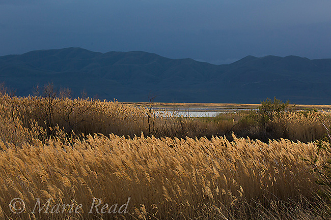 Bear River Migratory Bird Refuge, view toward northwest in evening, with Promontory Mountains in distance, Utah, USA