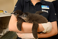 BNPS.co.uk (01202 558833)<br /> Pic: ZacharyCulpin/BNPS<br /> <br /> The world's smallest breed of penguin has arrived in Europe after six tiny chicks hatched on the south coast of England.<br /> <br /> The group of adorable Fairy Penguins have been born at Weymouth Sea Life Adventure Park in Dorset as part of a new breeding programme.<br /> <br /> They will eventually grow to around 13ins tall but now, aged just weeks old, they are the roughly the same size as a large gerbil. <br /> <br /> The pocket-sized creatures were born from a colony of Fairy Penguins from their sanctuary in Australia in 2018.