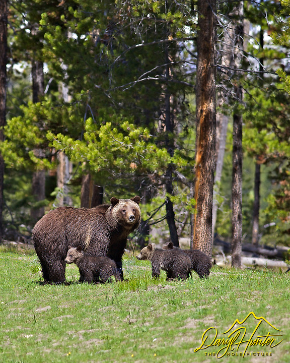 Grizzly Bear #399 and cubs, Grand Teton National Park, Jackson Hole, Wyoming