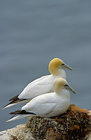 Basstölpel, Baßtölpel, auf Nest am Vogelfelsen von Helgoland, Paar, Pärchen, Tölpel, Sula bassana, Morus bassanus, northern gannet