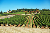 USA, Oregon, Willamette Valley, rows of vines at Domaine Serene, Dayton